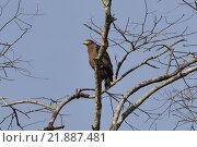 Хищная птица на ветке высохшего дерева на фоне синего неба. Стоковое фото, фотограф Юлия Бубличенко / Фотобанк Лори