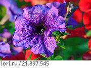 Купить «Цветок фиолетовой петунии крупным планом», фото № 21897545, снято 26 июля 2014 г. (c) Сергей Трофименко / Фотобанк Лори
