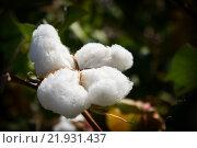 Большой белый цветок хлопка. Стоковое фото, фотограф Алексей Большаков / Фотобанк Лори