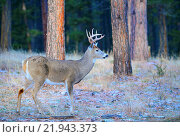 Купить «Buck, white-tail deer, Montana, USA», фото № 21943373, снято 3 декабря 2013 г. (c) age Fotostock / Фотобанк Лори
