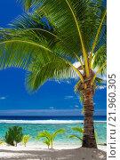 Купить «A palm tree overlooking tropical beach on Roratonga, Cook Islands», фото № 21960305, снято 5 апреля 2020 г. (c) PantherMedia / Фотобанк Лори