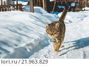 Кот идет по снегу. Стоковое фото, фотограф Александр Пуненко / Фотобанк Лори