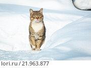 Кот на снегу. Стоковое фото, фотограф Александр Пуненко / Фотобанк Лори