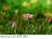 Купить «Розовый мак с бутонами на ярком фоне луга», фото № 21975381, снято 8 сентября 2011 г. (c) Татьяна Белова / Фотобанк Лори