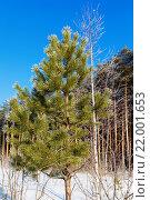 Сосновый лес зимним солнечным днем. Стоковое фото, фотограф Тимофеев Владимир / Фотобанк Лори