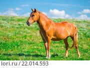 Купить «Коричневая лошадь на цепи в поле», фото № 22014593, снято 19 августа 2015 г. (c) Константин Лабунский / Фотобанк Лори