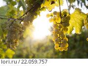 Купить «White grape bunch on the vine», фото № 22059757, снято 16 июля 2018 г. (c) PantherMedia / Фотобанк Лори