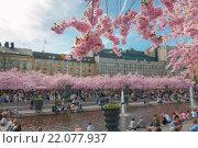 Цветение сакуры в Королевском саду. Стокгольм. Швеция. (2013 год). Стоковое фото, фотограф Елена Поминова / Фотобанк Лори