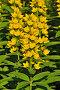 Вербейник обыкновенный (лат. Lysimachia vulgaris), фото № 22081873, снято 28 июня 2015 г. (c) Сергей Трофименко / Фотобанк Лори
