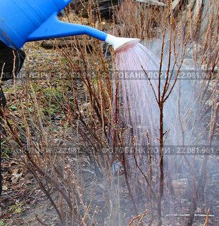 Полив смородины кипятком весной