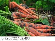 Морковь. Стоковое фото, фотограф Надежда Шапкина / Фотобанк Лори