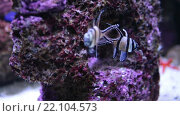 Купить «Две полосатые рыбки плавают возле коралла в морской воде», видеоролик № 22104573, снято 3 февраля 2016 г. (c) Кекяляйнен Андрей / Фотобанк Лори