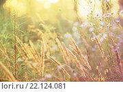 Луговые цветы в закатном свете, размытый фон. Стоковое фото, фотограф Римма Тельнова / Фотобанк Лори