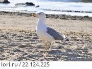 Чайка на песке. Стоковое фото, фотограф Павел Чайкин / Фотобанк Лори