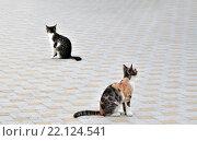 Две кошки сидят на тротуарной плитке. Стоковое фото, фотограф Павел Чайкин / Фотобанк Лори