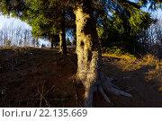 Купить «Evergreen tree lit by sunset light, Petehovac in Croatia», фото № 22135669, снято 5 декабря 2015 г. (c) age Fotostock / Фотобанк Лори