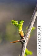 Молодой листочек на ветке с шипом. Стоковое фото, фотограф Роман Иванов / Фотобанк Лори