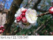 Цветок яблони и пчела. Стоковое фото, фотограф Юстасия Щурова / Фотобанк Лори