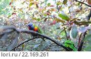 Купить «Два зеленых попугая с синей головой и оранжевой грудью сидят вдвоем на ветке дерева. Вольер Katandra Treetops в Лоро парке (Loro Parque zoo), Санта Круз, Тенерифе, Канарские острова», видеоролик № 22169261, снято 4 февраля 2016 г. (c) Кекяляйнен Андрей / Фотобанк Лори