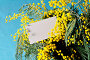 Ветка мимозы и визитная карточка, фото № 22200449, снято 9 марта 2016 г. (c) Зезелина Марина / Фотобанк Лори