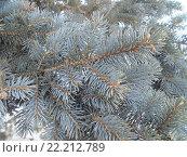 Ветка голубой ели. Стоковое фото, фотограф Юлия Каюнова / Фотобанк Лори