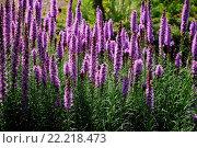 Купить «Liatris spicata, Ã?hrige Prachtscharte, Dense blazing star», фото № 22218473, снято 19 июля 2019 г. (c) age Fotostock / Фотобанк Лори