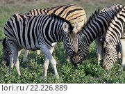 Стадо зебр на закате. Африка (2016 год). Стоковое фото, фотограф Знаменский Олег / Фотобанк Лори