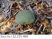 Codium bursa on the beach on a bed of posidonia. Chlorophyta. Codiaceae. Menorca Island (Biosphere Reserve), Balearic Islands, Spain. Стоковое фото, фотограф J M Barres / age Fotostock / Фотобанк Лори