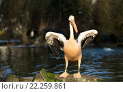Купить «rare Spot-billed pelican, Pelecanus philippensisin», фото № 22259861, снято 26 мая 2019 г. (c) PantherMedia / Фотобанк Лори