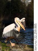 Купить «rare Spot-billed pelican, Pelecanus philippensisin», фото № 22259885, снято 26 мая 2019 г. (c) PantherMedia / Фотобанк Лори
