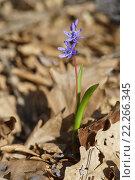 Купить «Весенний лесной синий цветок Пролеска сибирская, или Сцилла (Scilla sibirica)», фото № 22266345, снято 8 марта 2016 г. (c) Наталья Гармашева / Фотобанк Лори