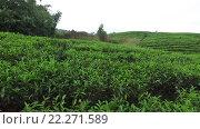 Купить «tea plantation field on Sri Lank», видеоролик № 22271589, снято 16 февраля 2016 г. (c) Syda Productions / Фотобанк Лори