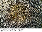 Купить «Крупный план зрелого подсолнуха с черными семечками», фото № 22271969, снято 10 декабря 2018 г. (c) Татьяна Васильева / Фотобанк Лори