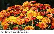 Купить «Orange Autumn Chrysanthemums Bush», видеоролик № 22272681, снято 14 марта 2016 г. (c) Юрий Брыкайло / Фотобанк Лори
