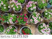 Купить «Pinks in pots, top view», фото № 22273929, снято 3 февраля 2016 г. (c) Александр Подшивалов / Фотобанк Лори
