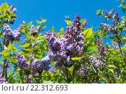 Купить «Цветущая сирень на фоне синего  неба», фото № 22312693, снято 21 апреля 2015 г. (c) Татьяна Кахилл / Фотобанк Лори