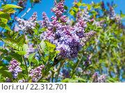 Купить «Цветущая сирень на фоне синего  неба», фото № 22312701, снято 21 апреля 2015 г. (c) Татьяна Кахилл / Фотобанк Лори