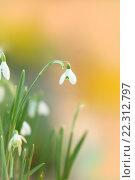 Подснежник белоснежный (Galanthus nivalis) на нежном акварельном фоне. Стоковое фото, фотограф Татьяна Белова / Фотобанк Лори