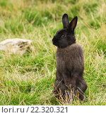 Купить «Серый кролик стоит на задних лапках», фото № 22320321, снято 15 августа 2015 г. (c) Александр Лядов / Фотобанк Лори
