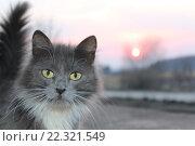Серая кошка. Стоковое фото, фотограф Татьяна Дмитреняк / Фотобанк Лори