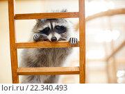 Raccoon. Стоковое фото, фотограф Raev Denis / Фотобанк Лори
