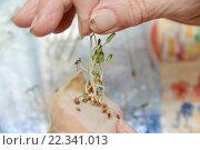 Купить «Проросшие семена томатов», фото № 22341013, снято 25 марта 2016 г. (c) Андрей Забродин / Фотобанк Лори