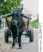 Зебу запряжен в повозку. Стоковое фото, фотограф Иманова Ирина / Фотобанк Лори