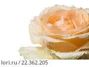 Купить «Цветок чайной розы в каплях воды крупным планом на белом фоне изолировано», фото № 22362205, снято 25 марта 2016 г. (c) Наталья Волкова / Фотобанк Лори
