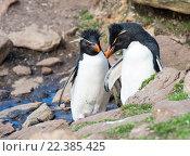 Купить «Северные хохлатые пингвины на Фолклендских островах», фото № 22385425, снято 26 ноября 2015 г. (c) Vladimir / Фотобанк Лори