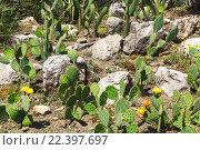 Купить «Поляна с цветущими кактусами», фото № 22397697, снято 20 июня 2015 г. (c) Наталья Волкова / Фотобанк Лори