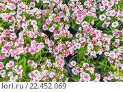 Купить «Many pinks in pots, top view», фото № 22452069, снято 3 февраля 2016 г. (c) Александр Подшивалов / Фотобанк Лори