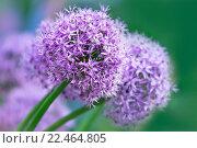 Купить «Лук декоративный  (Allium )», фото № 22464805, снято 28 мая 2011 г. (c) Татьяна Белова / Фотобанк Лори