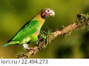 Купить «Brown-hooded Parrot (Pyrilia haematotis) - La Laguna del Lagarto Lodge - Boca Tapada, San Carlos, Costa Rica.», фото № 22494273, снято 6 марта 2016 г. (c) age Fotostock / Фотобанк Лори