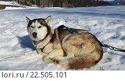 Купить «Собака хаски лежит на снегу», фото № 22505101, снято 1 апреля 2016 г. (c) DiS / Фотобанк Лори